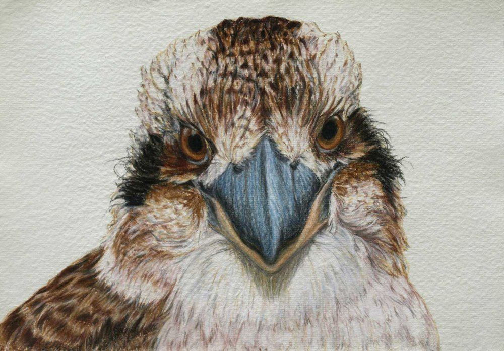 Kookaburra  26 x 37 cm, Pastel Drawing on handmade paper  Available as a limited edition print  $650