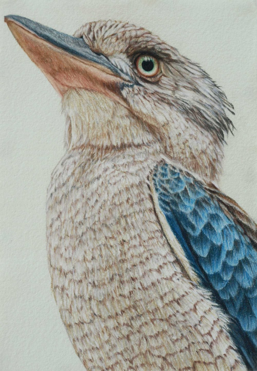 Blue Winged kookaburra  37 x 26 cm, Pastel Drawing on handmade paper  Available as a limited edition print  $650