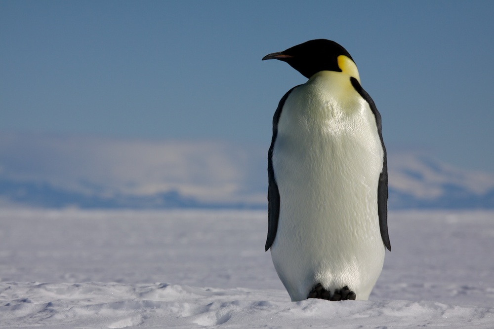 Emperor penguin on the sea ice at McMurdo Sound..jpg