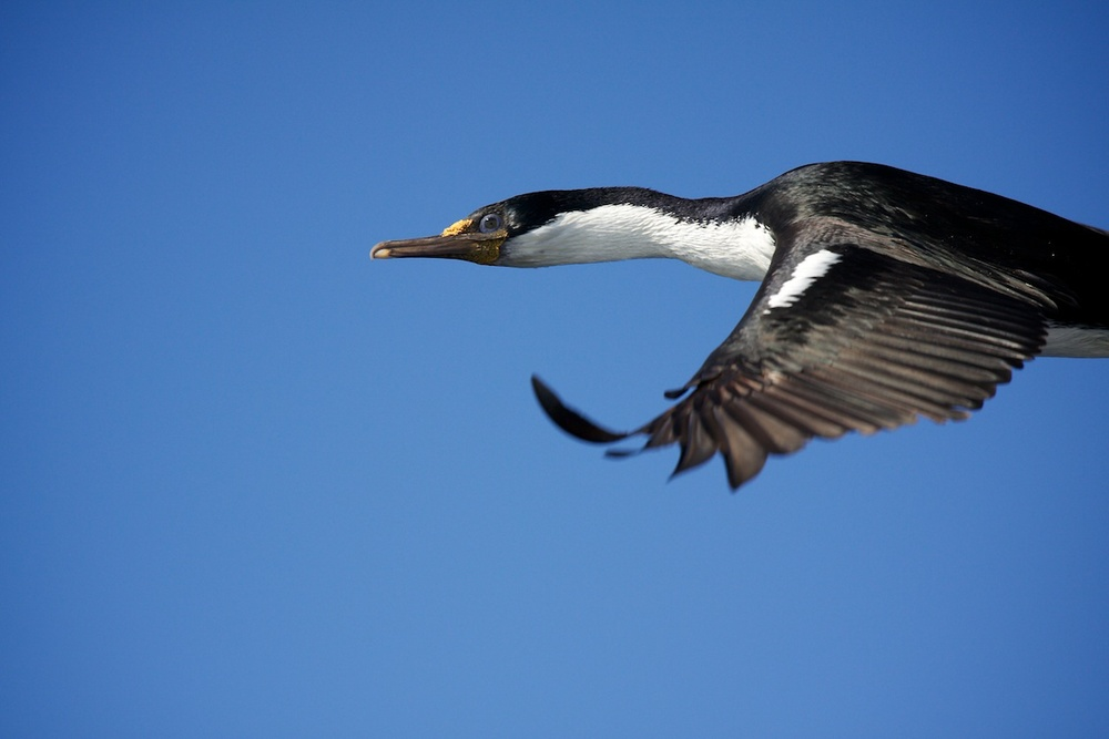 Macquarie Island shag.jpg