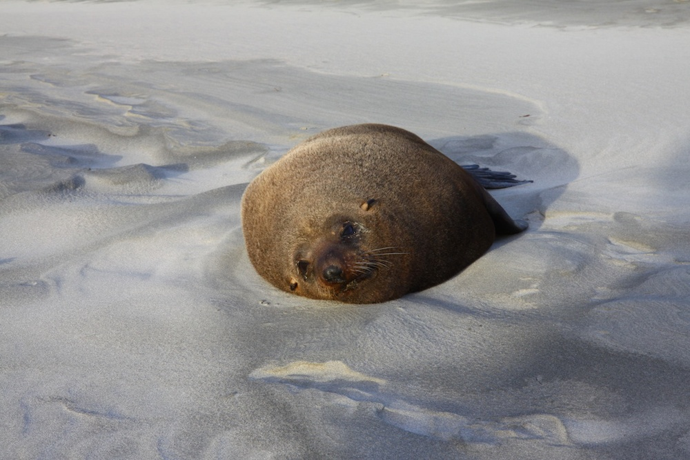 Lazy, fat seal...don't get too close or he'll bark at you....jpg