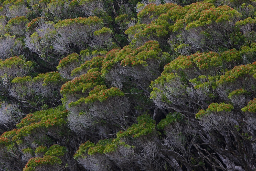 Rata forest on the Auckland Islands..jpg