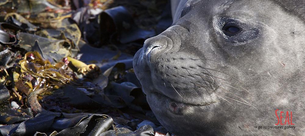 Elephant seal at Macquarie Island.jpg