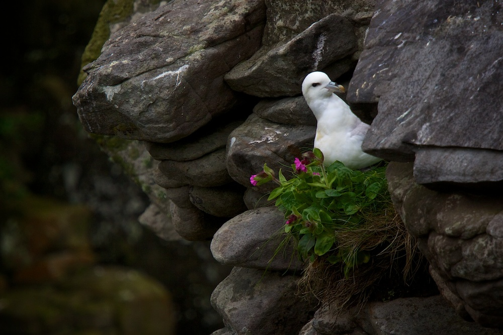 A fulmer gull on the island of Noss in the Shetland Islands