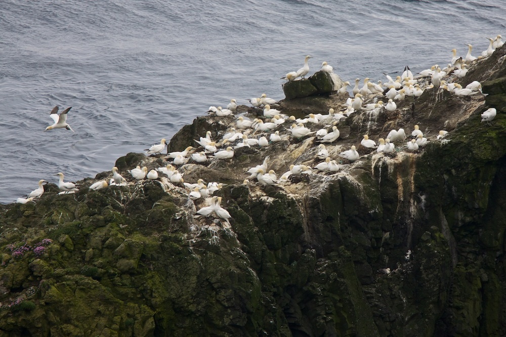 Gannets  on Mykines, Faroe Islands