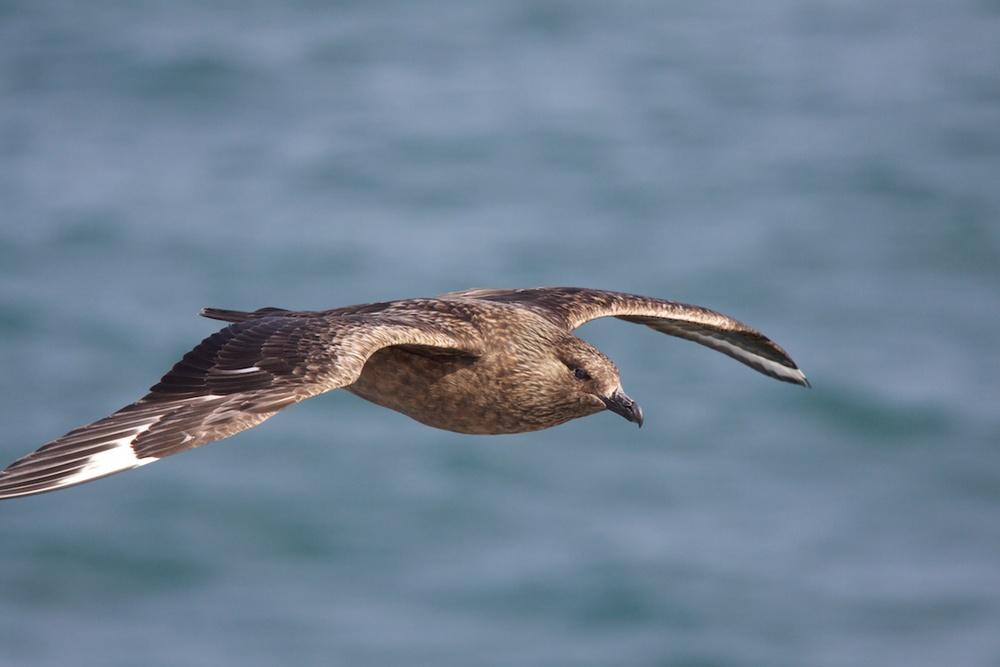 Skua on the hunt off the coast of Iceland