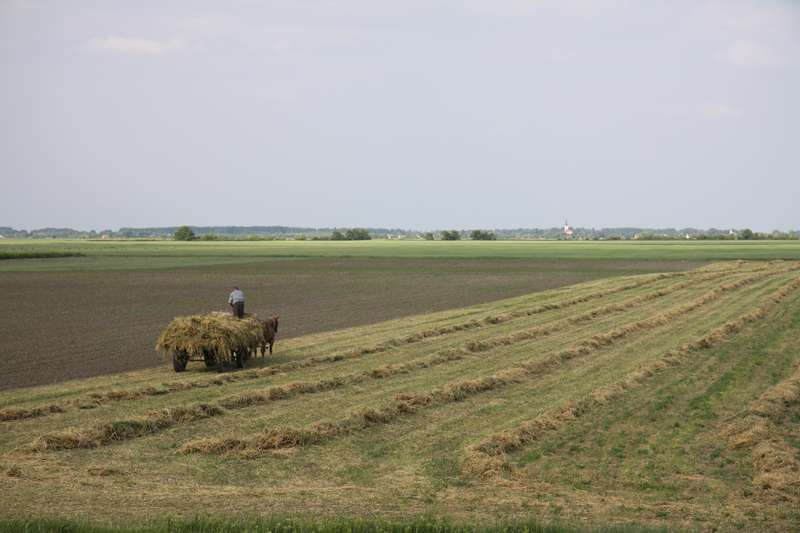Making hay the oldfashioned way
