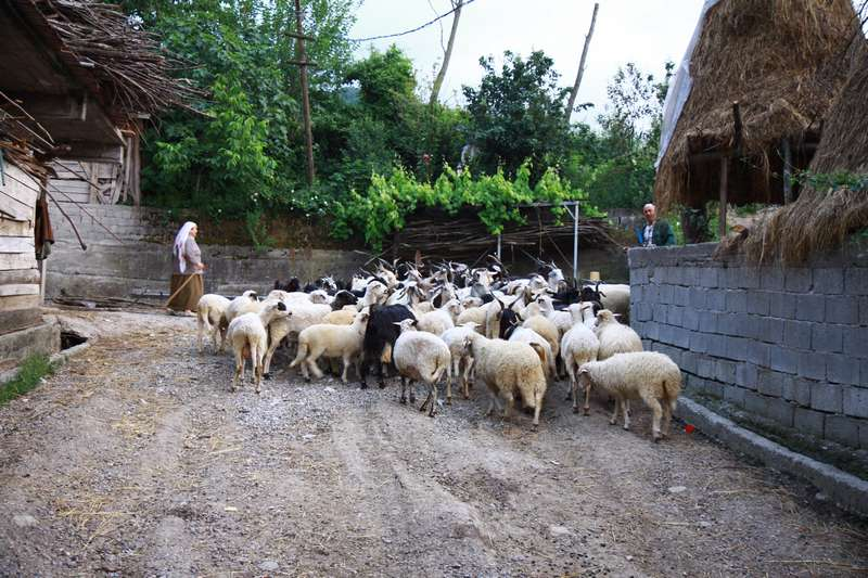 Fatma showıng the goats whats best for them.
