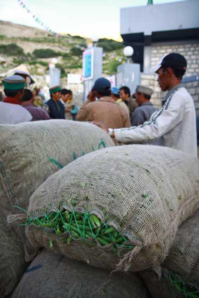 Sorting 50 kg sacks of sweet peas in Nako.