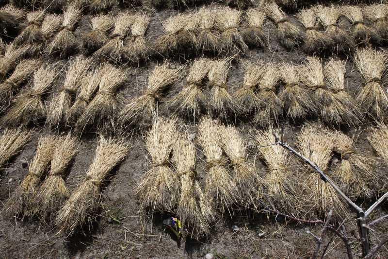 Barley drying in the sun.