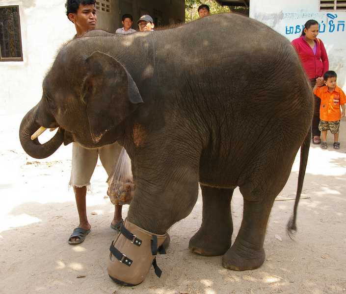 Baby Chhouk, a baby elephant who lost part of his leg in a snare.