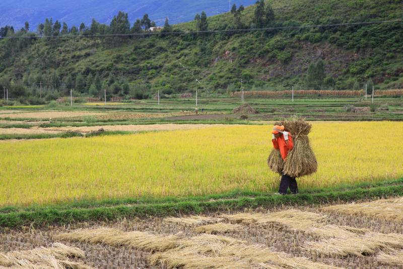 Carrying rice stalks to the road for transport.
