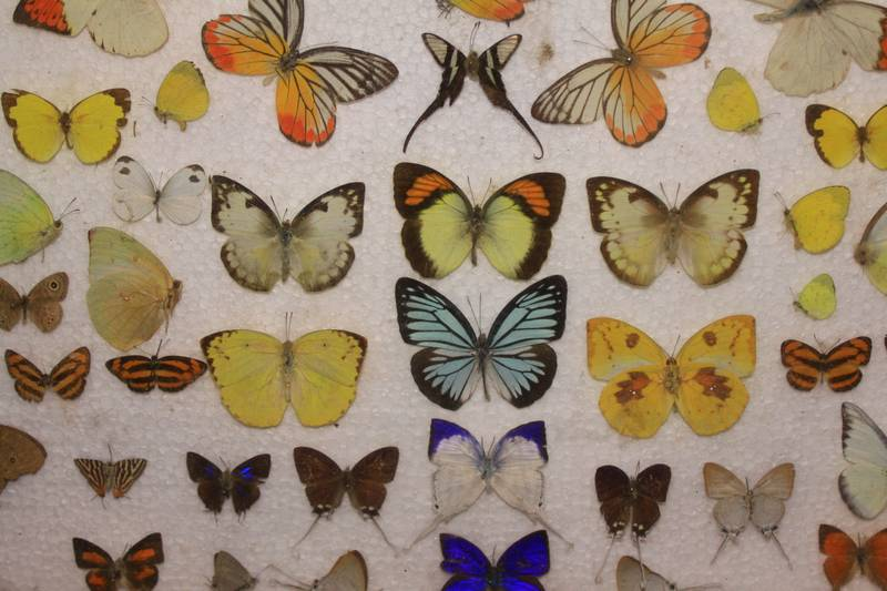 Beautiful butterflies all collected from the forests of Loas.