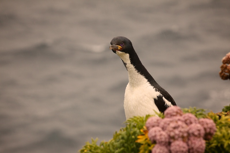 An Auckland Island Shag, each of the islands has its own species of shag.