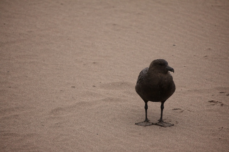 The vulture of the south, the skua.