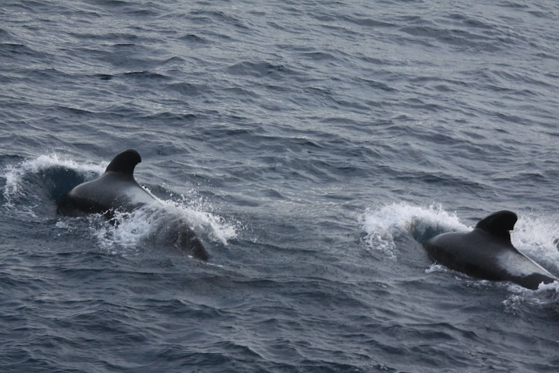 A pod of pilot whales, perhaps 50 in total.