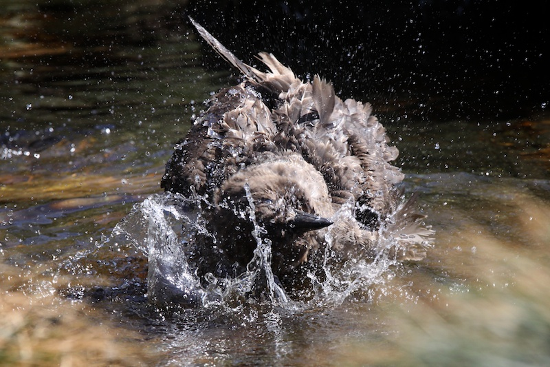 Skuas must keep their feathers clean of blood so are often found cleaning themselves in fresh water.