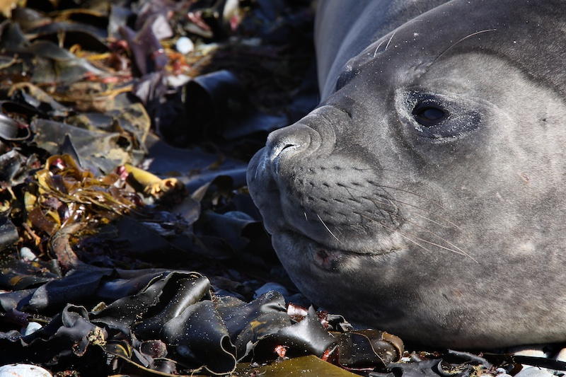 A young elephant seal just chillin'
