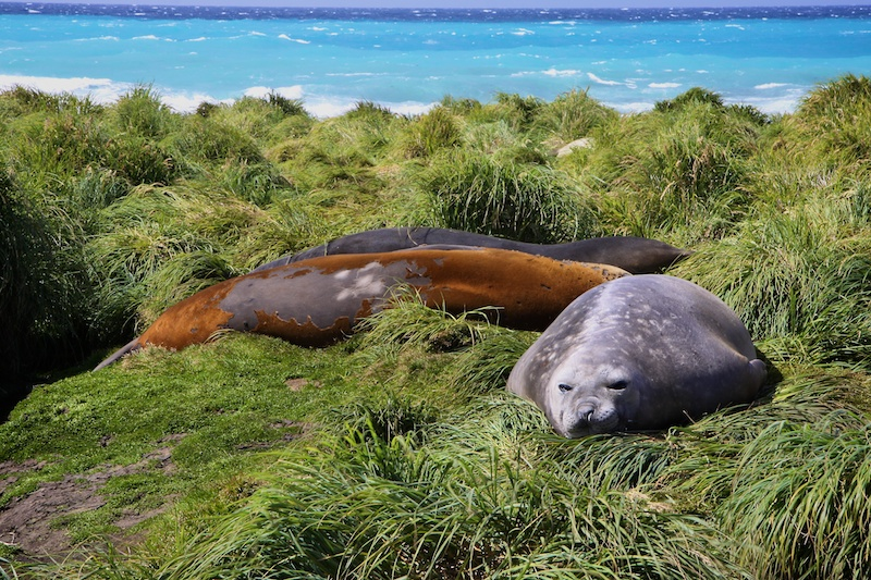 Elephant seals hanging out at Macquarie Island.