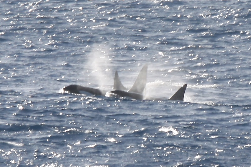 Killer whales at sea