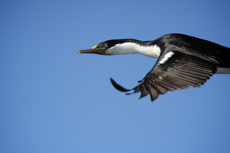 A Macquarie Island shag