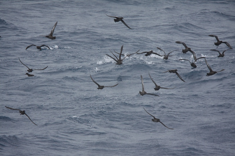 Shearwaters feeding at sea