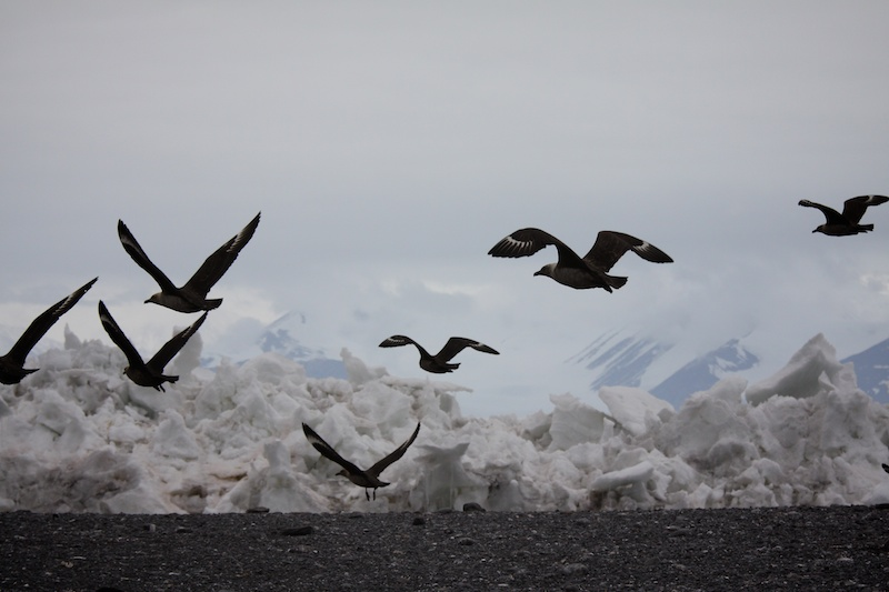 Skuas patrolling the colony.