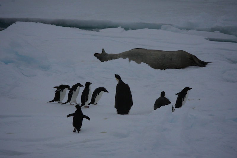 Two emperor penguins, a crabeater and a bunch of adelie penguins on an ice floe.