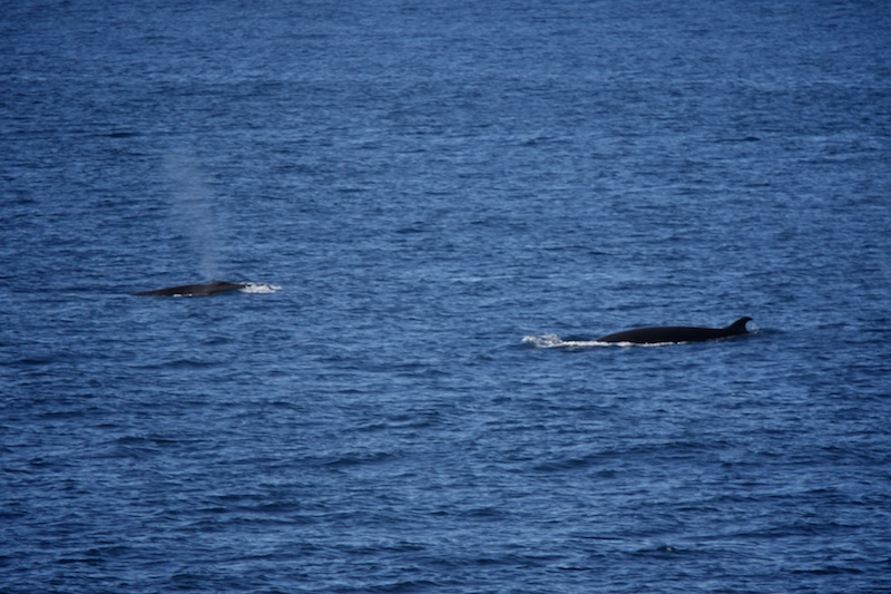Minke whales feeding alongside the boat.