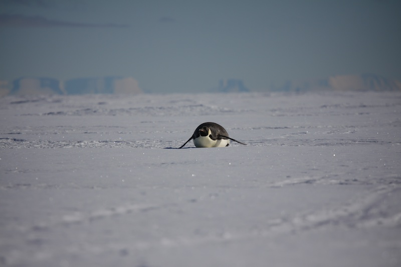An emperor penguin sledding in from kilometres away to say hi to the humans.
