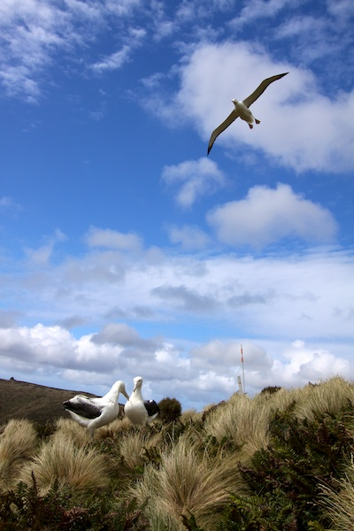 Southern Royal Albatrosses.