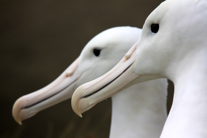 A male and female Southern Royal Albatross.