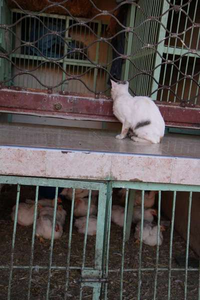 A hungry cat eyes up a room full of chickens awaiting their fate.