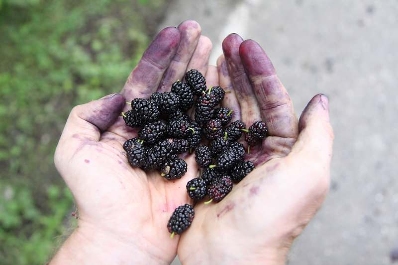 Amazing mullberries, picked by the handfull from a tree by the roadside.