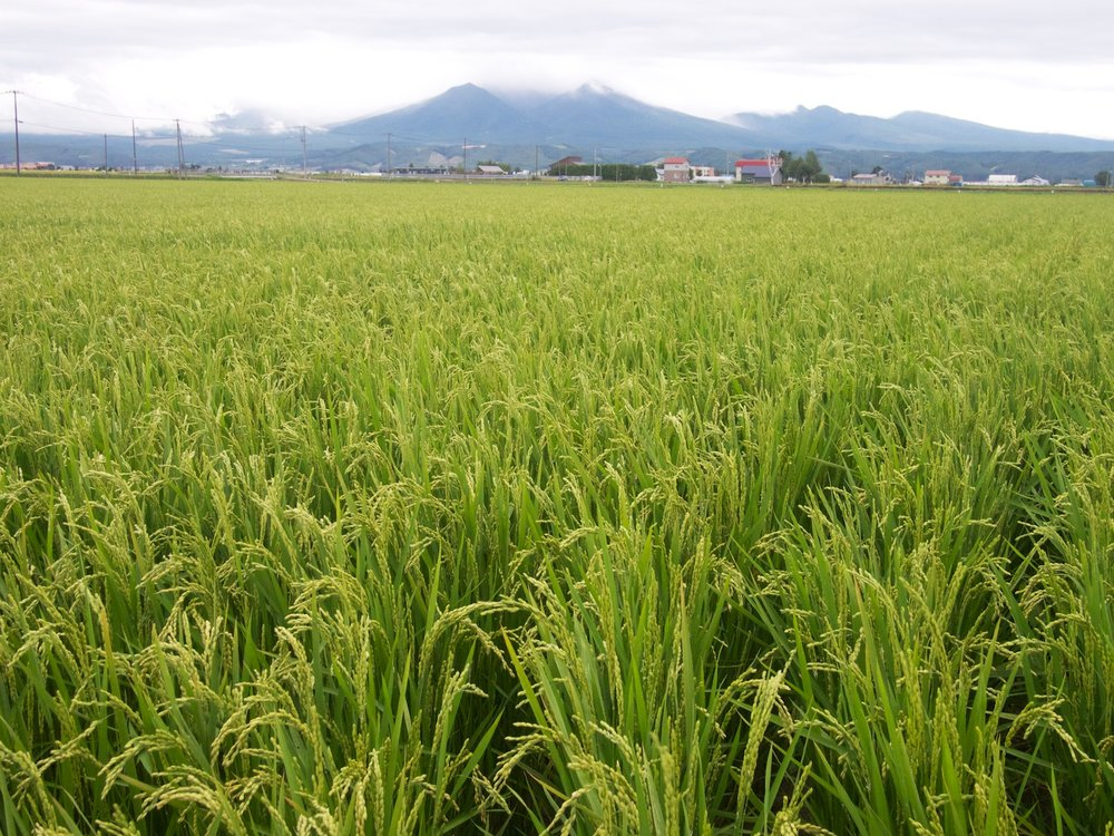 Rice ready for harvesting.