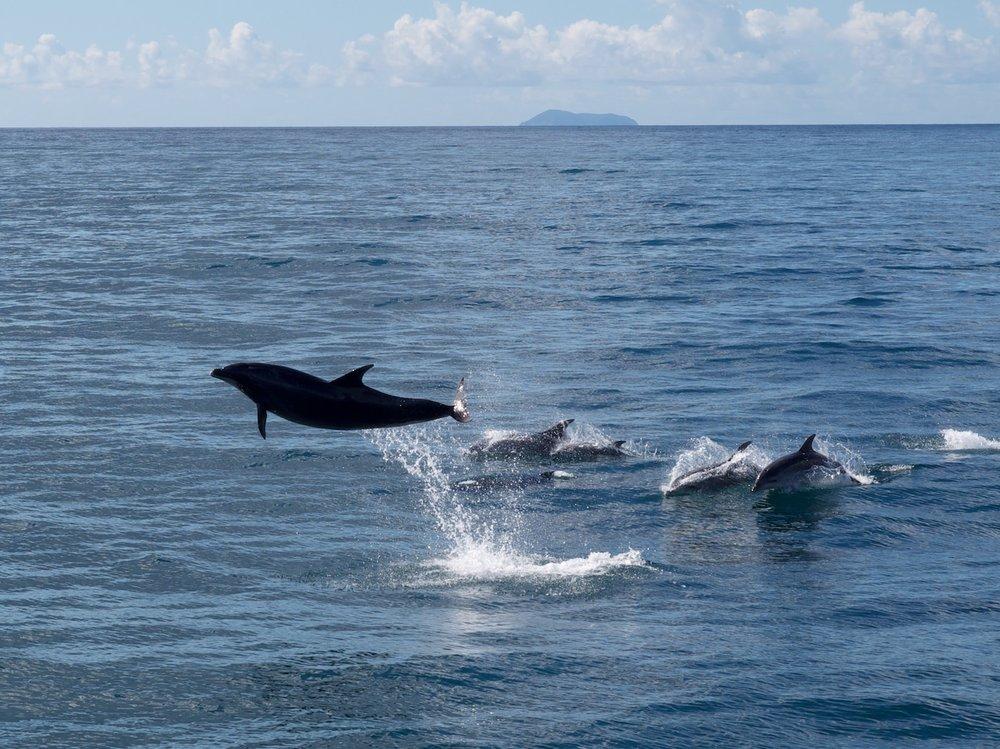 Dolphins in the Hauraki Gulf