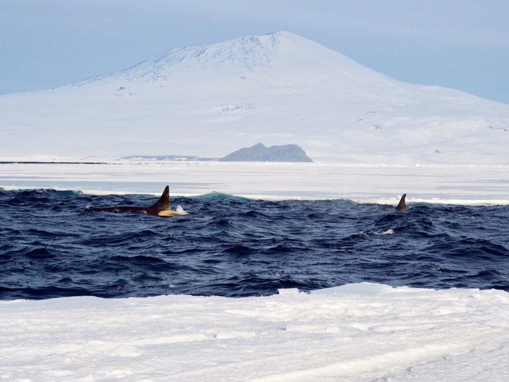 Whales! So many whales, just in front of Mt. Erebus.