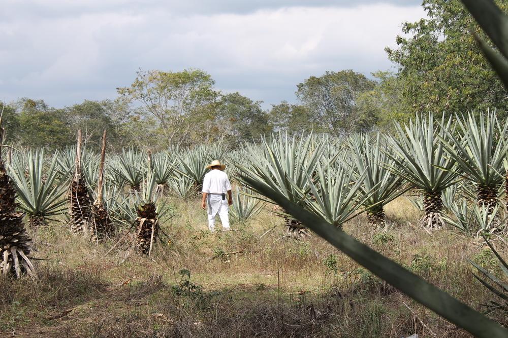 Henequen Plantations