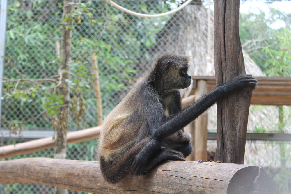 These monkeys are not on display 'just because'. They are animal rescues and have been mistreated and are being cared for. They cannot be released into the wild as they have been among (sometimes abusive) humans for much of their lives.