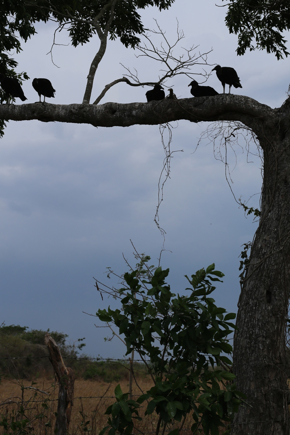 Vultures awaiting some death alongside the highway
