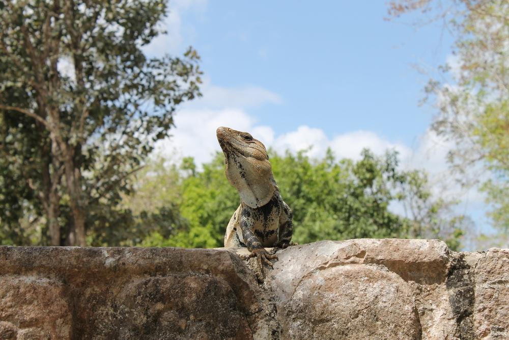 A real iguana