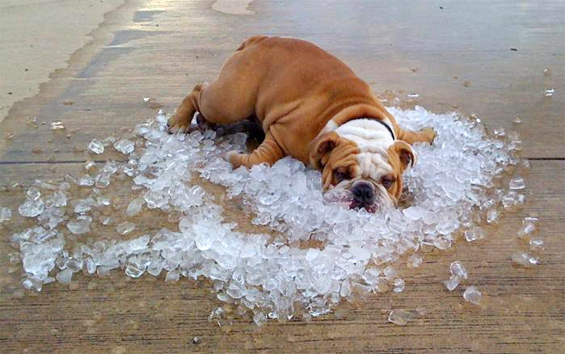 bulldog-on-ice.jpg