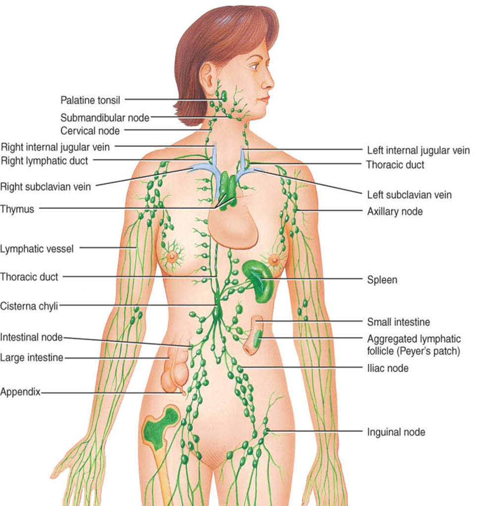 Yoga asanas, among other things, specifically flush and stimulate the lymphatic system. Can you see which poses might affect which sets of lymph nodes?