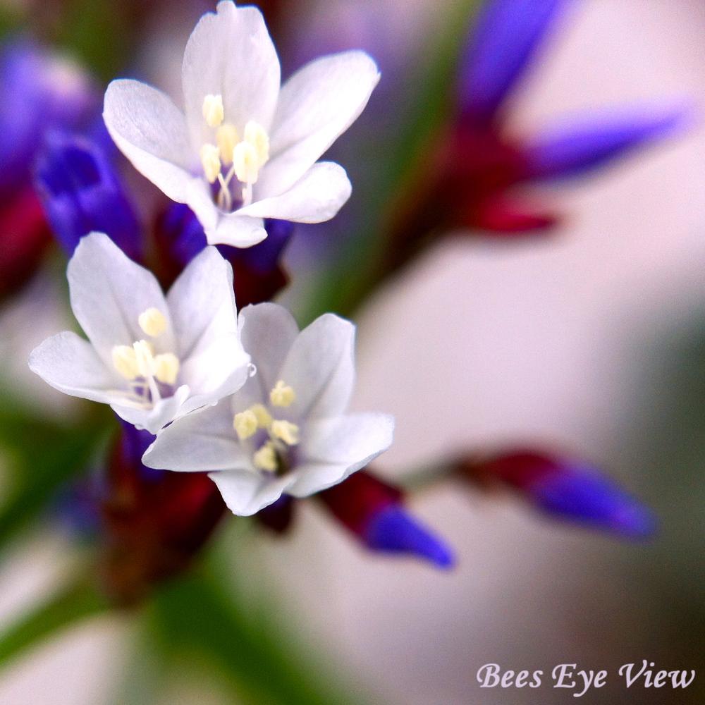 PurpleWht.jpg