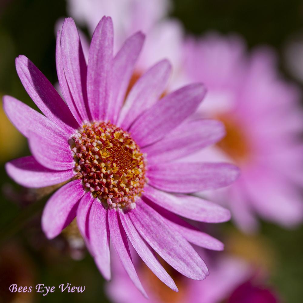 PinkBurst.jpg