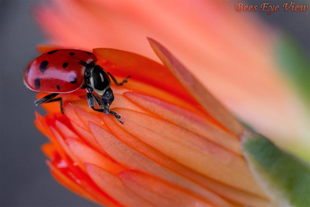 LadybugOrange.jpg