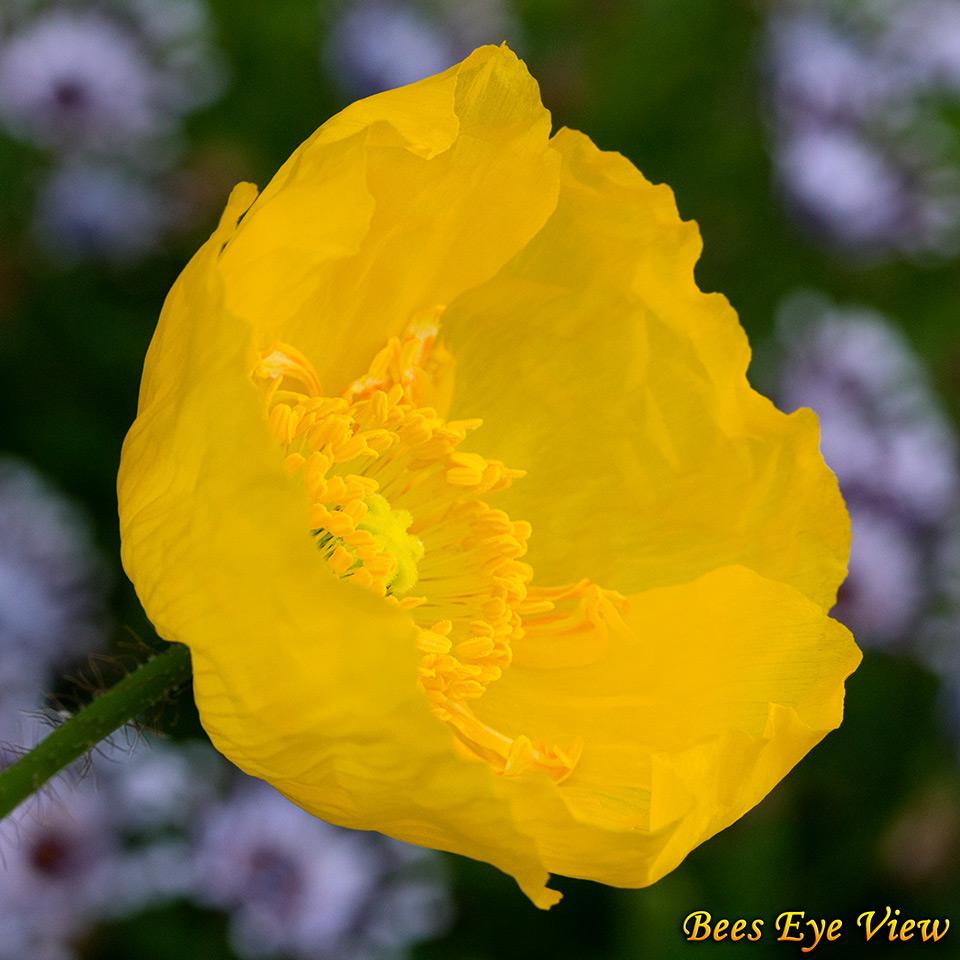 YellowIcelandPoppySq.jpg
