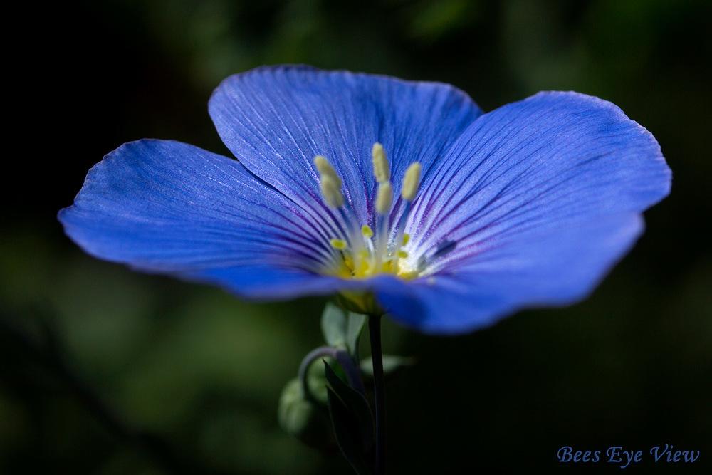 BlueFlax.jpg