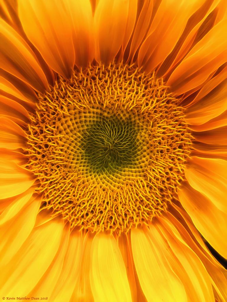 SunflowerBurst.jpg
