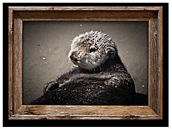 fuzzy otter moss landing 13x19 canvas print in barnwood frame